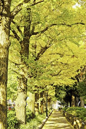 山下公園 銀杏